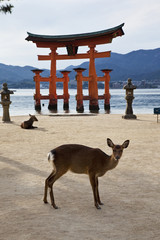 Seemingly floating on water at high tide, the Miyajima's giant torii gate is ranked as one of Japan's top three scenic places and is set in a bay in front of Itsukushima Shrine. T