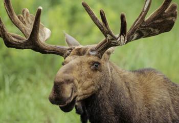 Moose (Alces alces) Adult Males, Ontario, Canada.