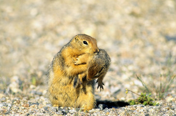A mother arctic ground squirrel (Spermophilus parryii) moves her newborn young to a new burrow.  Arctic Canada.