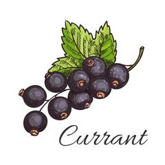 Black currant fruit branch with leaf sketch