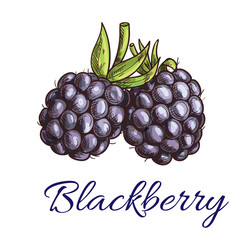 Fresh blackberry fruit sketch for food design
