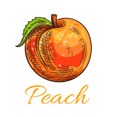 Fresh orange peach fruit sketch for food design