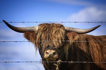Highland Cattle in Kananaskis Country, Alberta, Canada