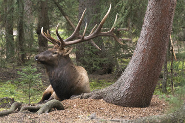 Wild bull Elk or Wapiti, Cervus canadensis, laying down near base of tree with mossy, green forest.  Jasper National Park, Alberta, Canada. Cervus canadensis