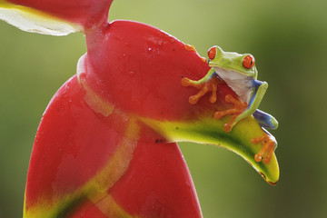 Red-eyed Tree Frog perched on a branch in Costa Rica, Central America.