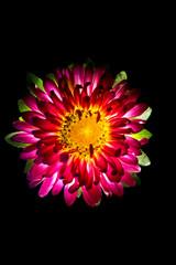 Surreal dark pink flower dahlia macro isolated on black