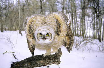 Threat display by a fledgling great horned owl (Bubo virginianus), southern Alberta, Canada