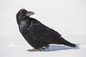 Raven (Corvus corax) at Columbia Icefields - Jasper National Park - Alberta, Canada.
