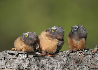 Northern Saw-whet Owl Chicks , Aegolius acadicus,  perched on a log at Prince Albert , Saskatchewan