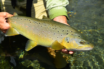 Fisherman holding a Brown Trout in New Zealand