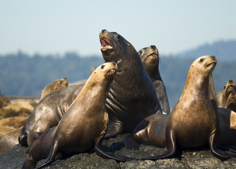 Steller sea lions on rock, Race Rocks, Canada