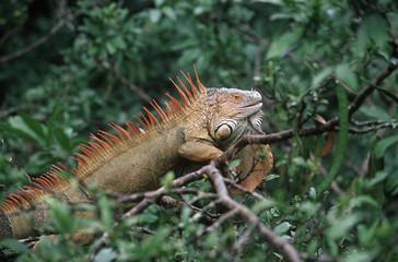 Costa Rica, Green iguana (Iguana iguana) in trees at Muelle