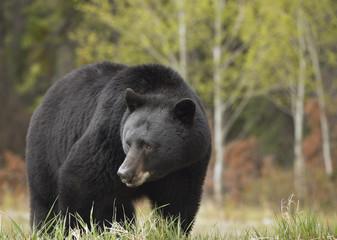 Black Bear (Ursus americanus) near Whirlpool Point, Kootenay Plains, Bighorn Wildland, Alberta, Canada