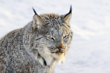 Canada Lynx in snow, Saskatoon, Canada