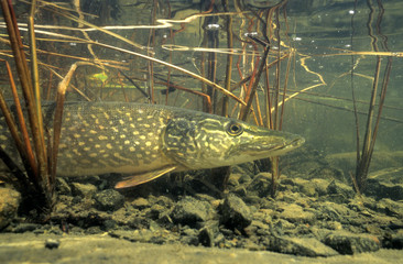 Northern pike (Esox lucius) basking in the warm shallows of a northern lake, Canada.