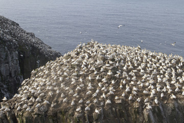 Northern Gannet (Morus bassanus) perched on a cliff off Newfoundland, Canada.