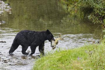Chum salmon fish caught by black bear