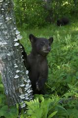 American Black Bear cubs exploring in spring forest, Ursus americanus, North America