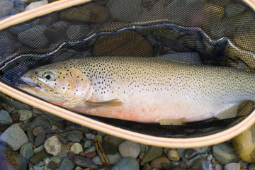 Fly-fishing guide, releases cutthroat trout on tributary of Elk River near Fernie, British Columbia, Canada.