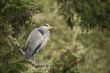 Great Blue Heron, Ardea herodias, Victoria, Coastal BC, Canada
