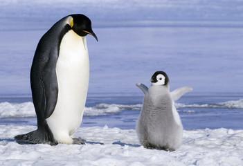Emperor penguin  with chick, Snow Hill Island, Weddell Sea, Antarctica