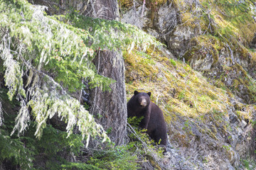 Black bear, Ursus Americanus, in Manning provincial park, British Columbia, Canada.