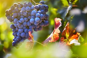 beautiful grape harvest Fototapete