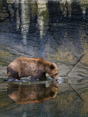Grizzly bear wading and drinking water from estuary, Canada