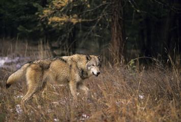 Wolf (Canis lupus) Alberta, Canada.
