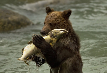 Grizzly bear cub eating a salmon in a river, British Columbia.