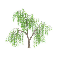 Weeping willow tree (Salix babylonica) with long branches and narrow green leaves isolated on white background. 3D illustration.
