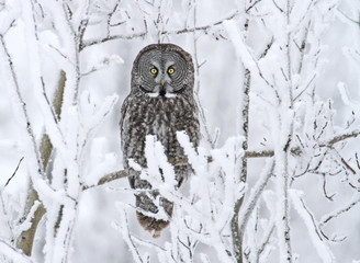 Great Gray Owl, Strix nebulosa, perched in the snow at the Nisbet Forest, Saskatchewan, Canada