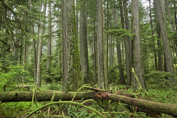 Douglas firs reach skyward in Cathedral Grove, MacMillian Provincial Park, Vancouver Island, British Columbia.