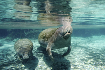 Florida manatee (Trichechus manatus latirostris), mother and calf, Crystal River, west-central Florida, U.S.A.