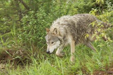 Gray wolf hunting, (Canis lupus), Alberta, Canada.