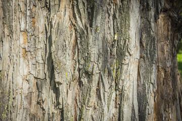 Texture - a bark of an old oak