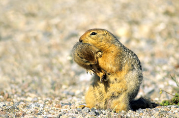 A mother arctic ground squirrel ( Spermophilus parryii) carries her newborn young to a new burrow.  Arctic Canada.