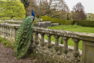 Peacock at Hatley Castle, Colwood, Greater Victoria, British Columbia, Canada