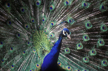 Peacock male with full display, British Columbia, Canada.