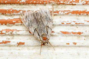 Mariposa nocturna. Polilla gris.