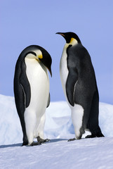 Courting Emperor penguins, Snow Hill Island, Antarctica