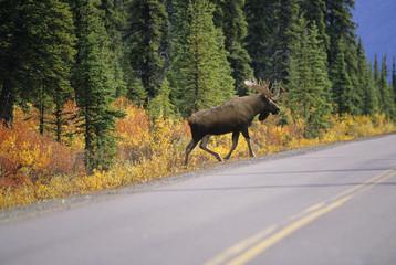 Moose bull crossing highway, Alaska, USA