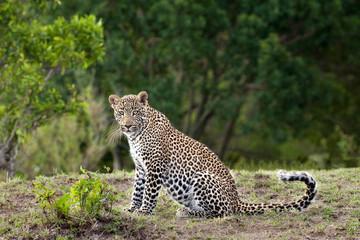 Adult female leopard (Panthera pardus), Masai Mara Reserve, Kenya, East Africa