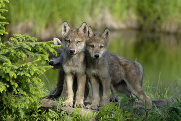 Wolf (Canis lupus) pups in deciduous woods, Minnesota, USA