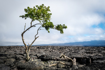 Isolated tree growing in congealed lava on the Big Island of Hawaii