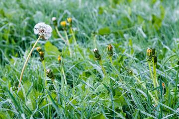 Taraxacum officinale. Plantas de Dientes de León o Achicoria Amarga, entre la hierba con rocío.