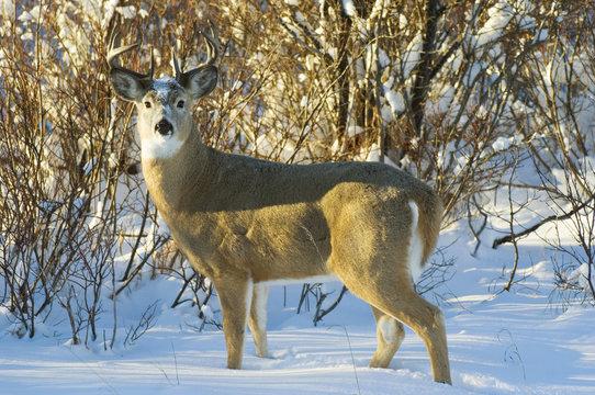 White-tailed Deer (Odocoileus virginianus) Male. Waterton Lakes National Park, southwest Alberta, Canada.