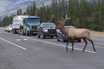Wild Elk or wapiti (Cervus canadensis), crossing Hwy 16 Jasper National Park, Alberta, Canada