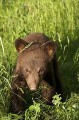 American black bear cub, Ursus americanus, cinnamon color phase.