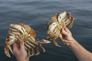 Recreational capture of Dungeness crab (Cancer magister) at Sidney Spit, Gulf Islands National Park Reserve, BC, Canada